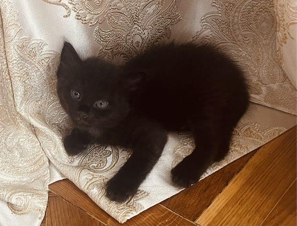 Котенок мальчик черный