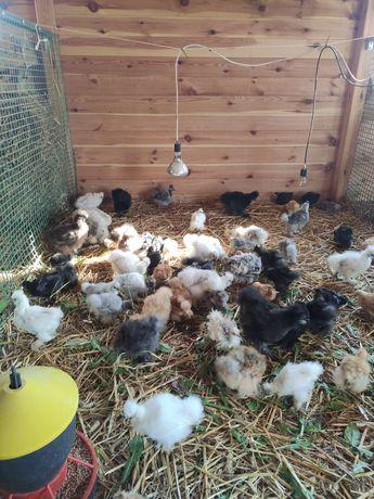 Silka,silki USA, kurczaki, pisklaki, kury ozdobne, jaja lęgowe