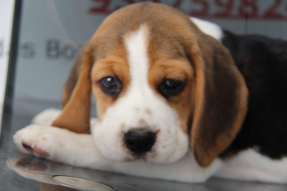 Cachorro Beagle com Lop e Afixo Gondomar (São Cosme), Valbom E Jovim - imagem 1