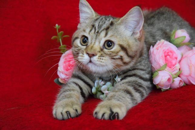 Шотландский тигровый котенок