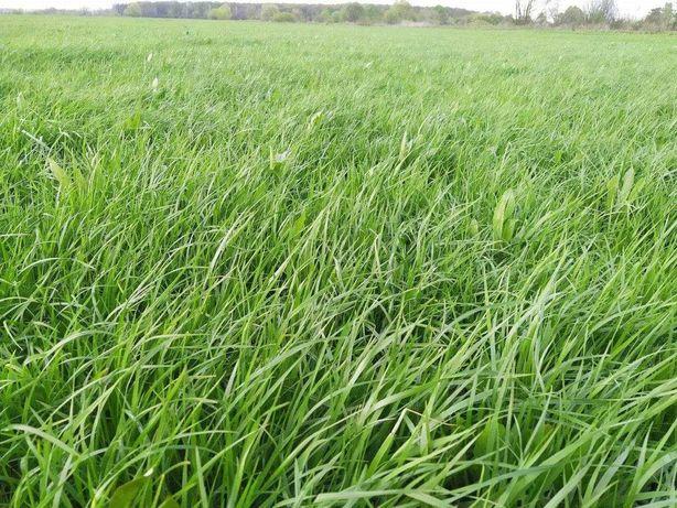 сіно сорту Нутріфайбер, врожай 2021 року