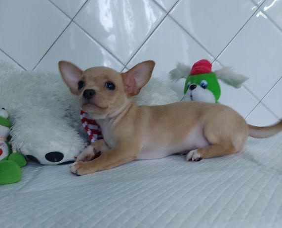 Чудесный малыш чихуахуа редкого изабеллового (лилак) окраса!
