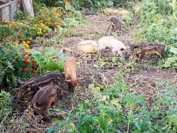 Свині, поросята породи Венгерська мангалиця.