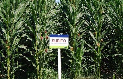 SUBITO - kukurydza na kiszonkę FAO 260
