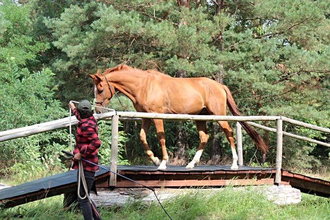 3,5 l Grzeczny spokojny Wałach czystej krwi arabskiej koń arabski arab