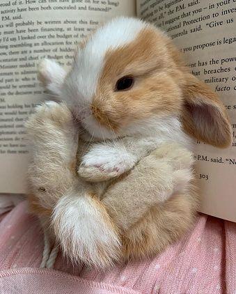 KIT completo coelhos anões mini holandês super fofos