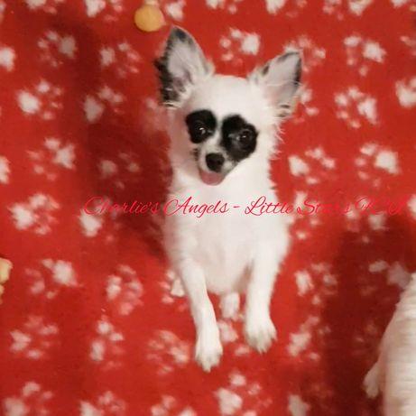 Chihuahua piesek długowłosy FCI