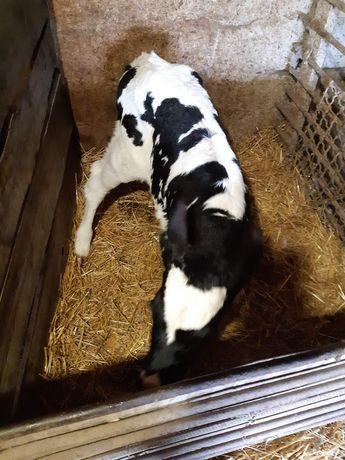 Продам теленка     .