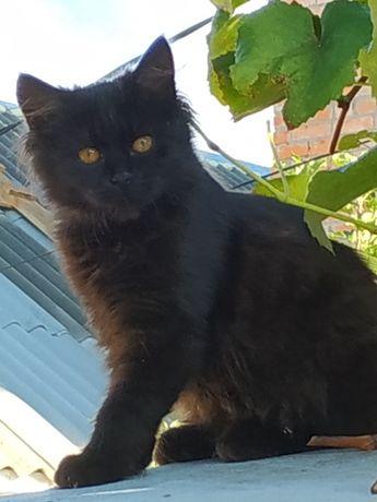 Черная кошка пушистая
