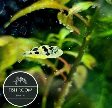 Kolcobrzuch Karłowaty (Fish Room Jaworzno)