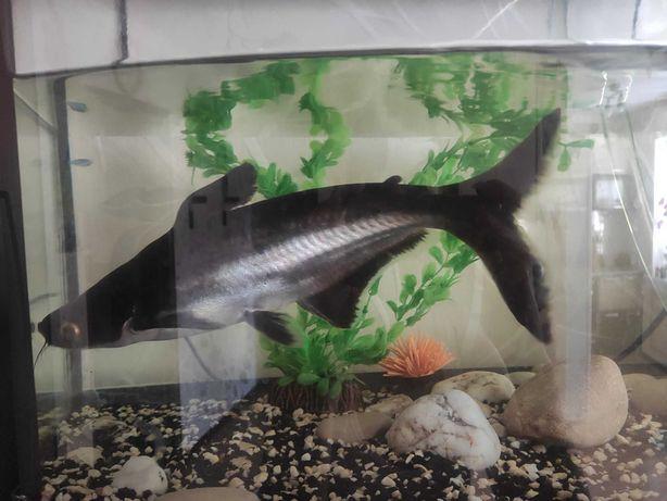 Пангасиус, сом аквариумный 30 см