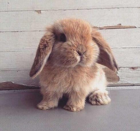 KIT completo coelhos anões orelhudos(mini Lop)