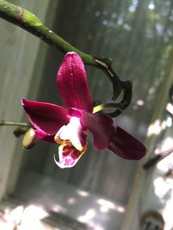 Орхидеи две в одном.