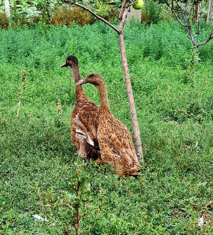 Утки индийский бегунок. Семья