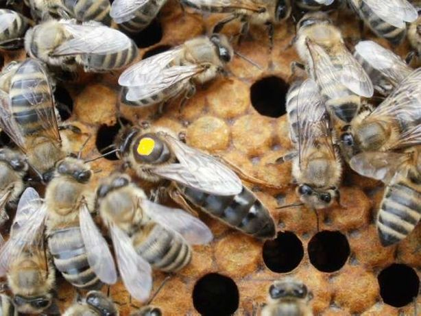 Плідні матки КАРНІКА, КАРПАТКА 2021 р. видоду (Пчеломатка, Бджоломатка