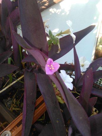 Sprzedam-Trzykrotka Purpurowa- liście fioletowe kwitnie