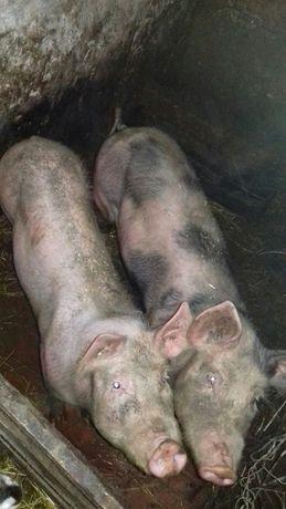 Продам дві льошки на свиноматки