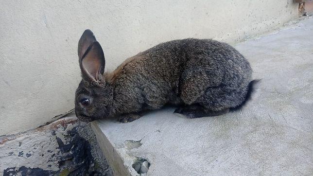 Продаю кроликів самців
