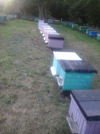 Przezimowane rodziny pszczele 2021