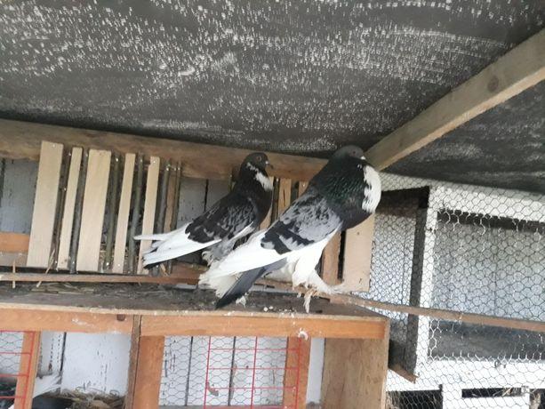Gołębie garłacze pomorskie