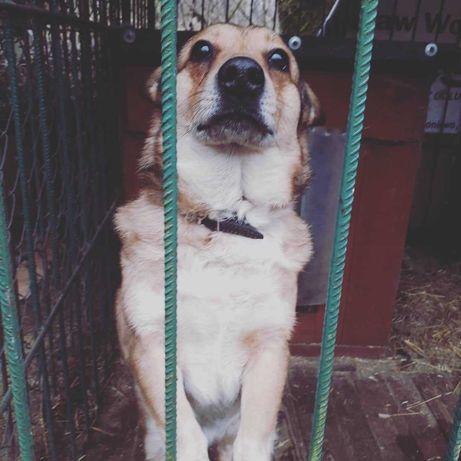 Corgi szuka domu na zawsze