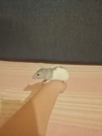 Szczurki domowe samiczki i samczyki