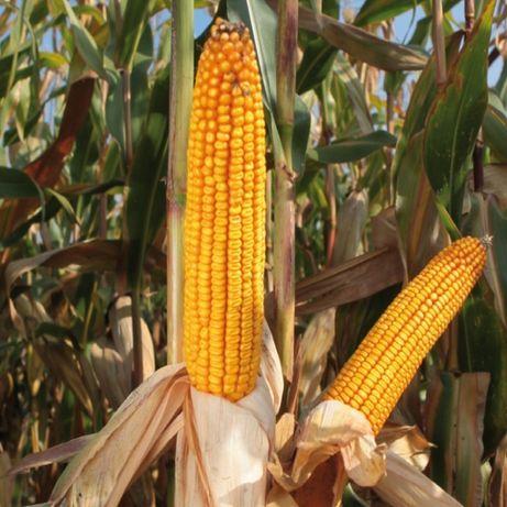Kukurydza Brigado Saatbau z Optiplusem 80 tys nasion