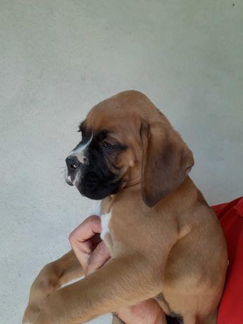 Boxer cachorro com 2 meses