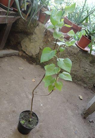 Vendo plantas de jardim lilás e tronco da felicidade