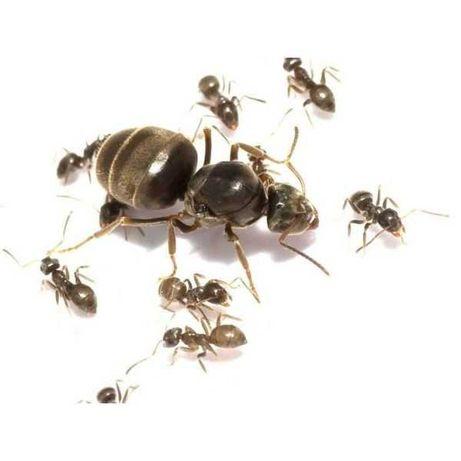 """Муравьи вида """"Lasius niger"""" - """"Садовый муравей"""" [ДП]"""