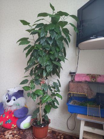 Китайская роза,высота 180см