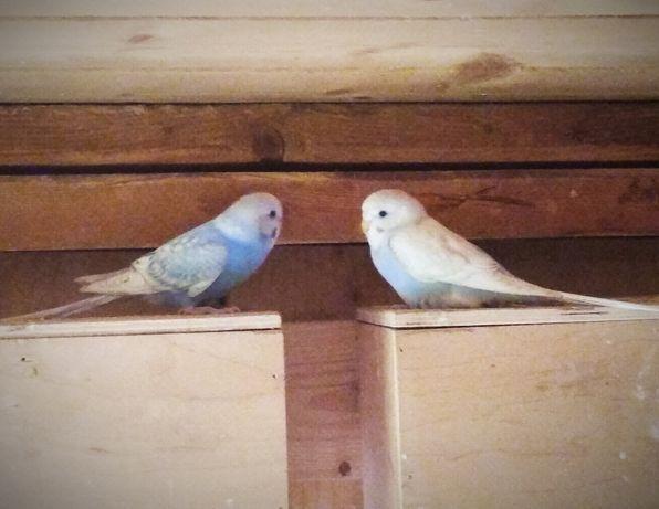 Papugi faliste i nierozłączki