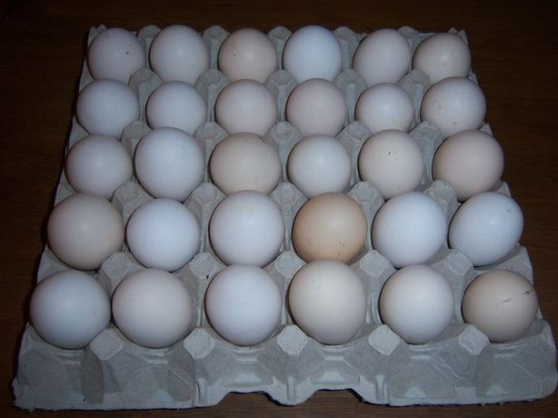Jajka lęgowe zielononóżka kuropatwiana Z11, zielononóżki