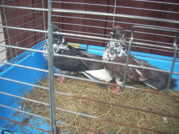 gołębie szaryki orliki