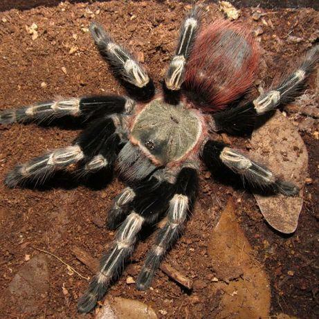 Lasiodora cristata павук птахоїд для новачків тарантул