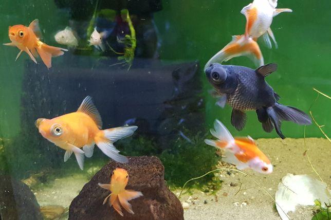 Welon teleskop - sympatyczna rybka