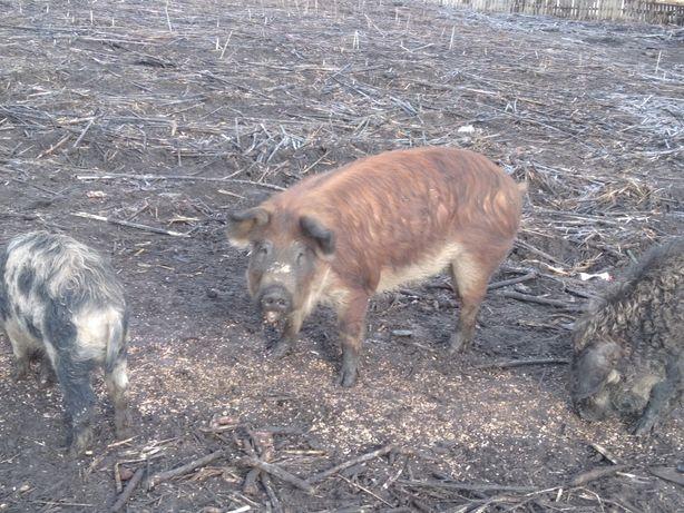 Продам свиноматок