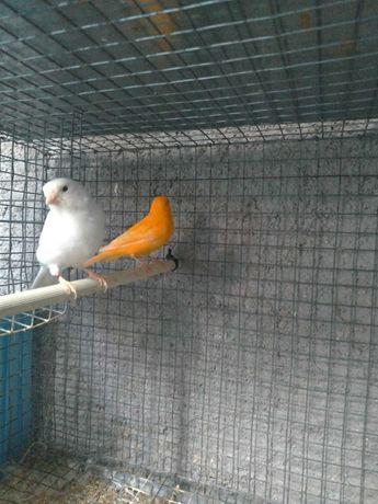 Cedência de aves