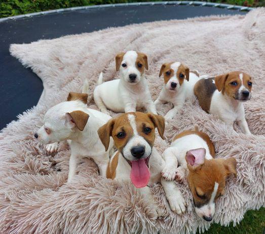 NEGOCJUJ  Cenke Maluszki Jack Russell Terrier