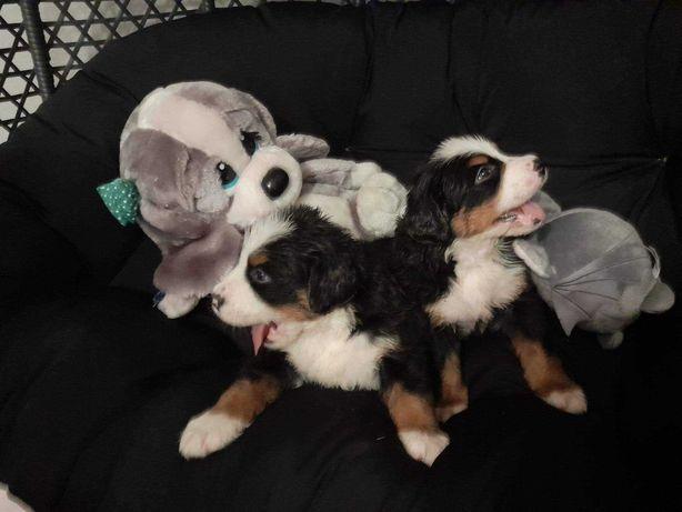 Berneński Pies Pasterski- Pieski do rezerwacji z rodowodem