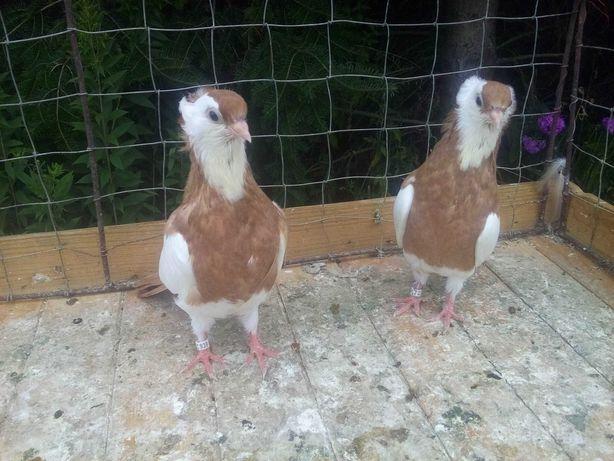 Felki - gołębie ozdobne