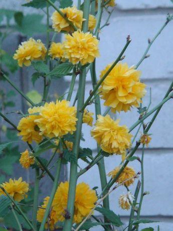 Керрия японская (бесшипная роза)