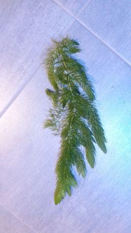 Rogatek sztywny (Ceratophyllum)