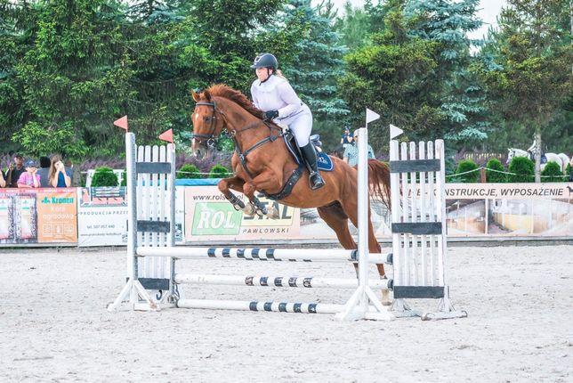 Koń - Wałach 5 lat