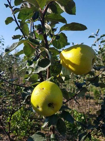 Drzewka, krzewy owocowe (jabłonie, grusza, czereśnia, brzoskwinia)