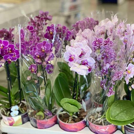 Орхидея, мультифлора, миди, фаленопсис