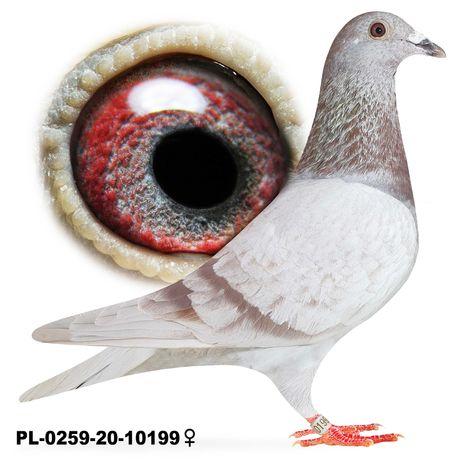 Młode para 43 Bula-Latacz inbred  na Besta gołąb gołębie pocztowe