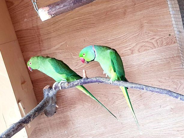 Papugi aleksandretta obrożna para lęgowa