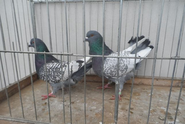 Gołębie Rysie para 1