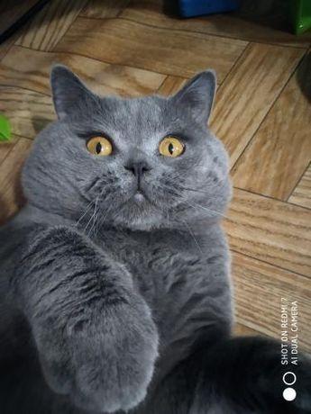 Британский кот приглашает кошечек